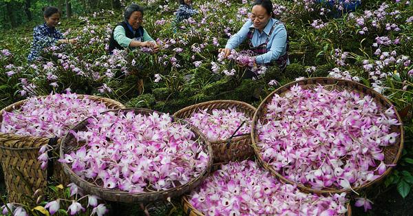 Flower economy blooms in Guizhou