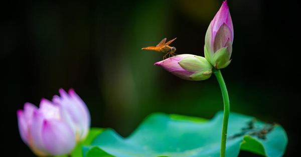 Twin lotus flowers show up in Nanjing's Xuanwu Lake