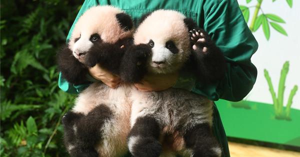 Giant panda twins make public debut in Chongqing
