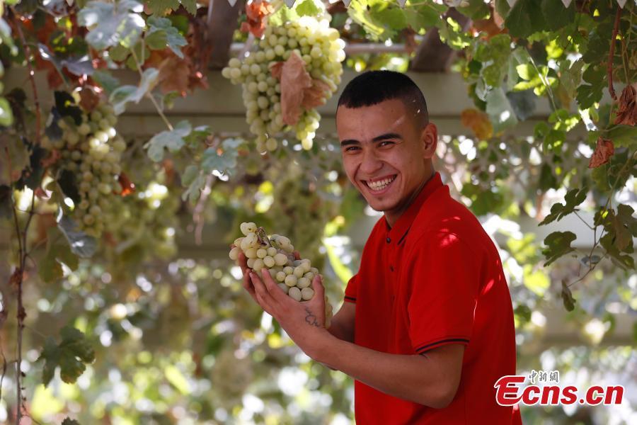Munage grapes ripe in Artux of Xinjiang