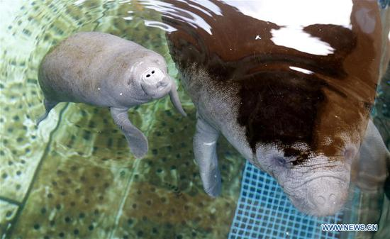 African manatee cub and its mother at Chimelong Ocean Kingdom in Zhuhai
