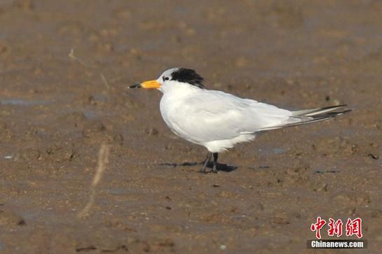 World's most endangered tern threatened by hybridization