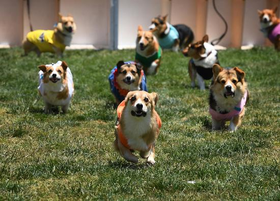 Corgi dogs race for 'fastest' title