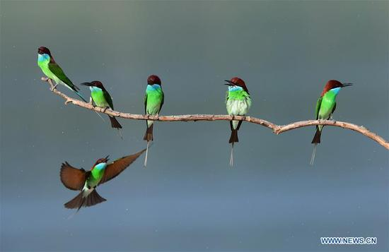 Blue-throated bee-eaters seen in Fujian