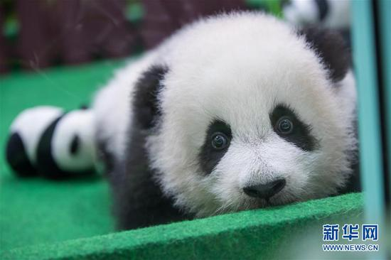 Baby panda makes her first appearance in Malaysia