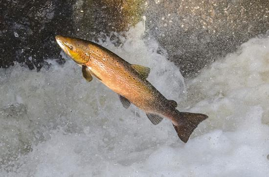 A salmon  (Photo/China Daily)