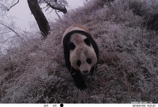 Infrared camera captures wild giant panda in Gansu