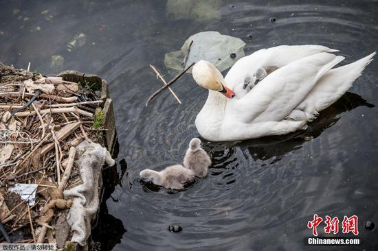 Swans nest in Copenhagen trash