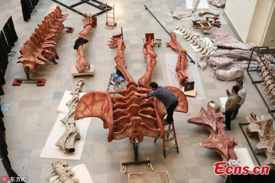 Scientists assemble Maximo, largest dinosaur discovered to date