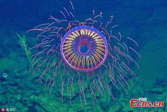 Scientists find fireworks-like jellyfish deep in the sea