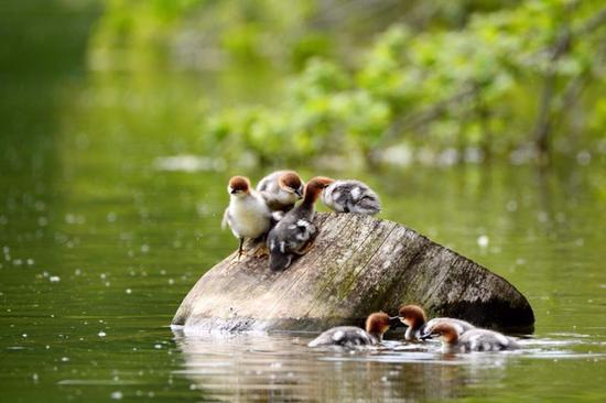 Chinese mergansers with babies spotted in Jilin