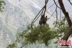 Researchers find new panda habitat in China