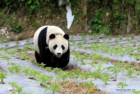 Giant panda roaming into village in Sichuan