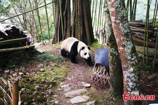 Captive panda makes surprise visit to village