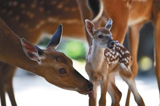 A sika deer born on June 2 at the Palace Museum in Beijing, meets the public.  (Photo courtesy of the Palace Museum)