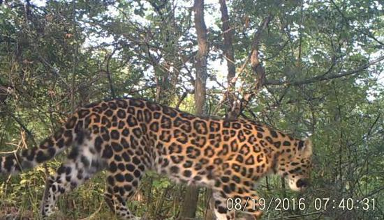 Infrared cameras catch the image of a North Chinese leopard in the Ziwuling forest area of Shaanxi Province. (Photo courtesy of the State Forestry and Grassland Administration)