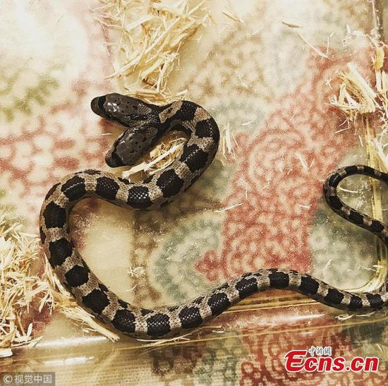 Two-headed snake discovered in New Orleans backyard