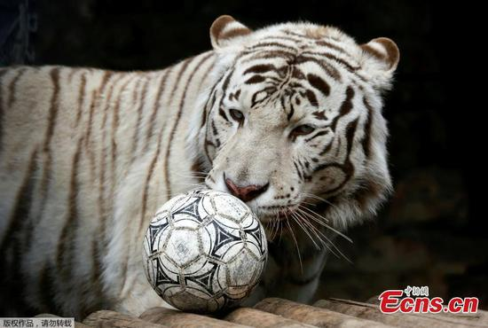 Russian zoo kicks off World Cup for animals