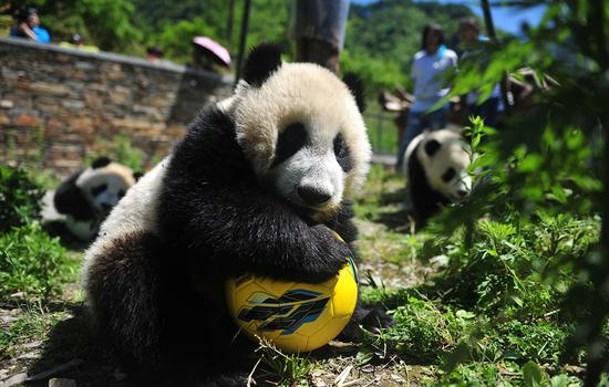 Pandas show off their 'soccer skills' ahead of World Cup