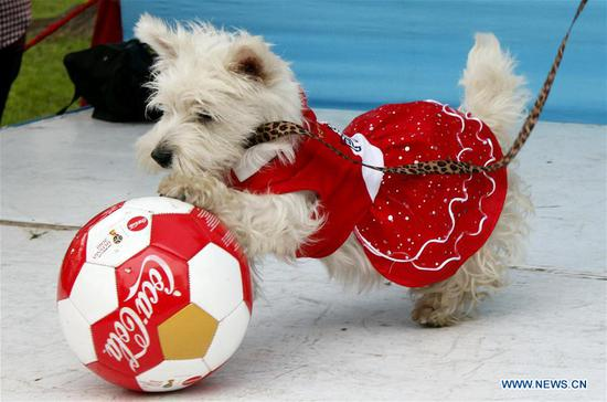 Pets seen in contest with theme of FIFA World Cup in Lima, Peru