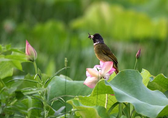 Refreshing scenes of Anhui lotus flowers
