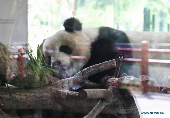 Chinese pandas become superstar during first-year's stay in Berlin Zoo