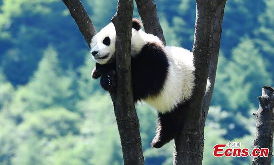 Giant panda enjoys the sunshine