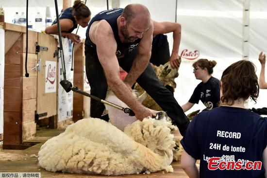 2,500 sheep shorn in 24 hours in French contest