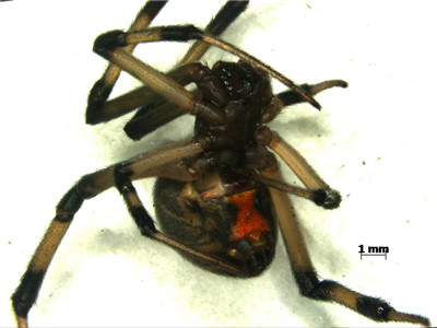 Customs officers in Nantong City, Jiangsu Province, seize toxic brown widow spiders on a Hong Kong-listed vessel.  (Photo / Nantong Customs)