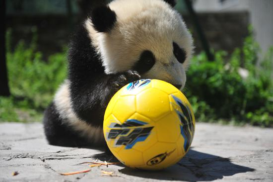Giant pandas play football to cheer for World Cup