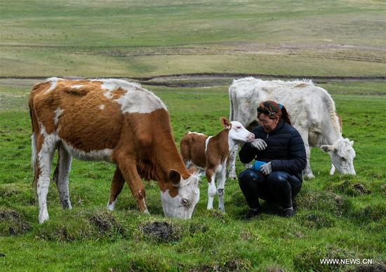 Tradition for nomadic herdsman to transfer livestocks in summer