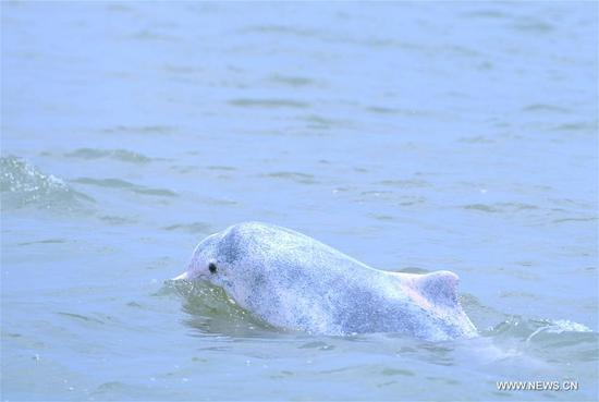 White dolphin seen in Sanniangwan sea area in S China