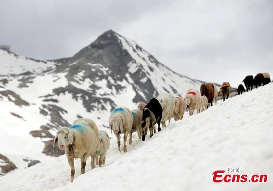 Sheep cross 2,856-meter-high snow mountain in Italy