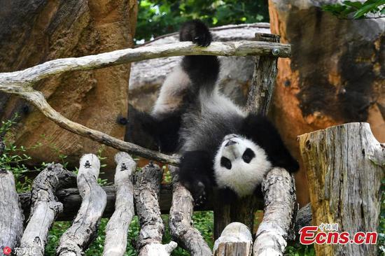 法国出生的第一只熊猫幼崽和妈妈一起玩
