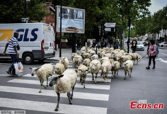 Be careful of sheep in Paris street