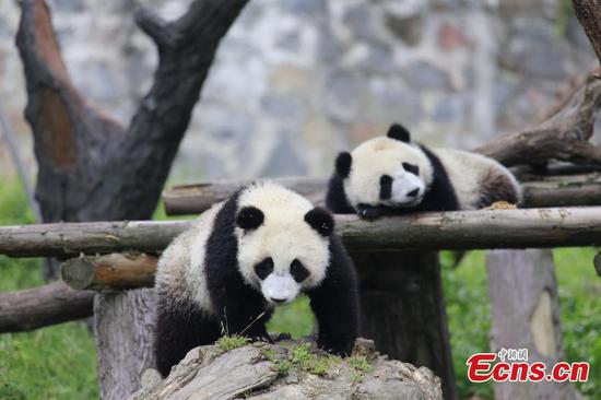 Over 100 foreigners visit giant pandas in Sichuan
