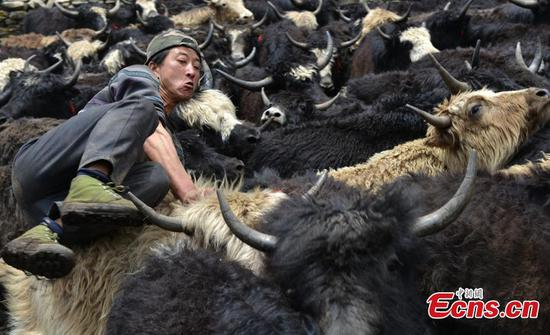 Time for Tibetans to shear yaks