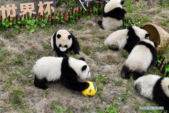 Giant pandas take part in football-themed party in Sichuan