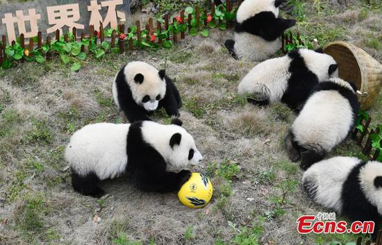Pandas kick off World Cup matches in Sichuan