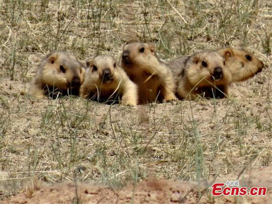 Cute marmots play on grassland