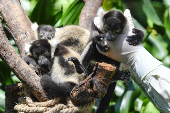 Newly born lemur variegatus triplets debut at Chimelong Safari Park