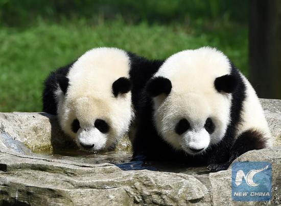 File Photo: Giant panda twins
