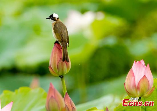 Best time for lotus flowers in Wufu Town