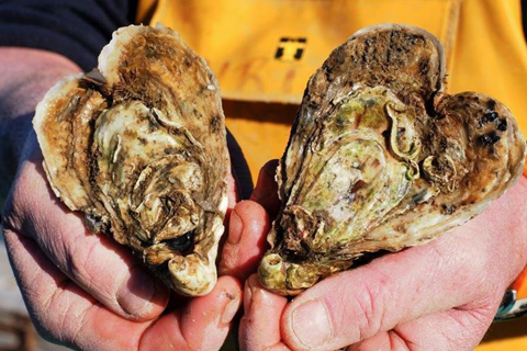 China's customs authorities warn of contaminated French oysters