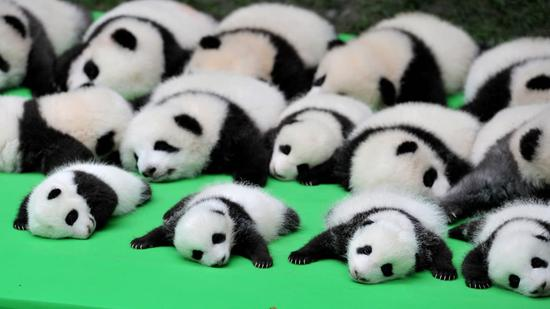 China's panda national park gets a research lab for rare animal protection