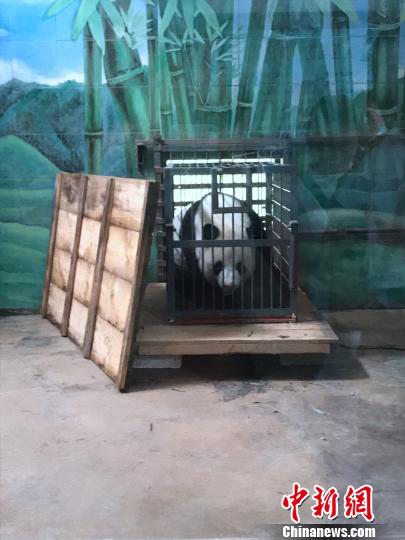 Panda Weiwei is ready to leave Wuhan Zoo for Sichuan Province. (Photo/China News Service)