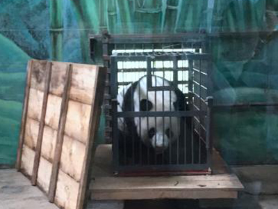 Zoo keeper suspended over alleged panda mistreatment
