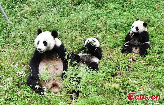 Mama panda plays with twin cubs
