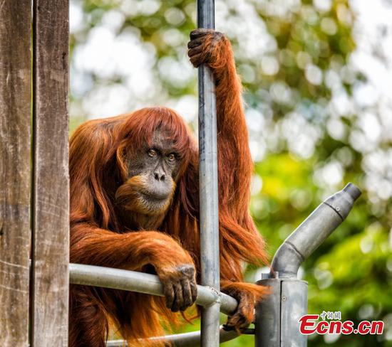 World's oldest Sumatran orangutan dies at Perth zoo