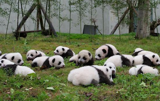 Panda cubs make their first public appearance at the Shenshuping Panda Base of the China Conservation and Research Center for the Giant Panda (CCRCGP) in Southwest China's Sichuan Province, Oct. 13, 2017. (Photo/Globaltimes.cn)